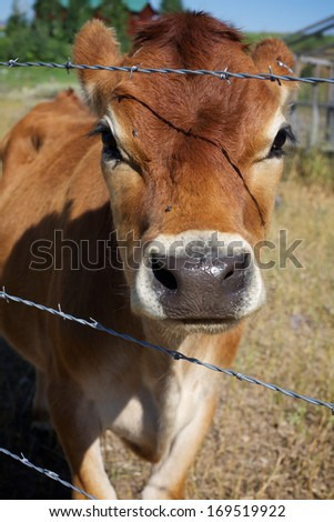 Curious Calf through Barbed-Wire - stock photo