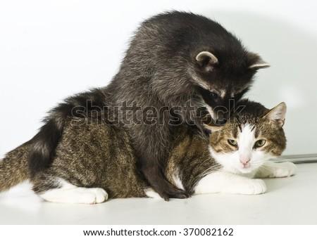 Curious cat and playful raccoon together