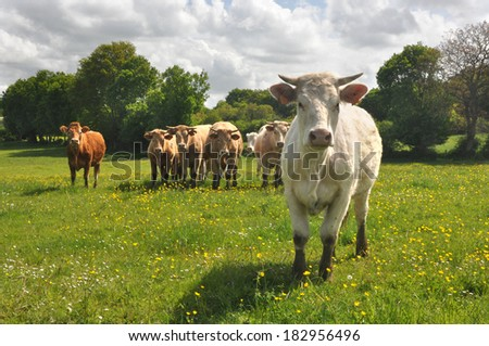 Curious Charolais cow with other cows in the background - stock photo