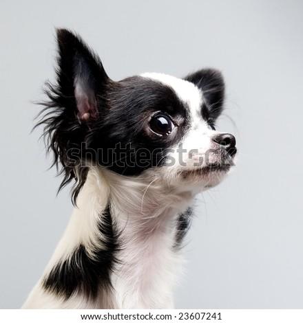 curious chihuahua - stock photo