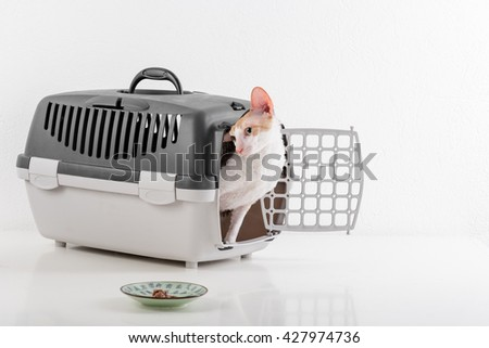 Curious Cornish Rex Cat Sitting in the Box on the White table with Reflection. White Wall Background. Plate with Food. - stock photo