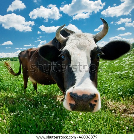 Curious cow close-up - stock photo