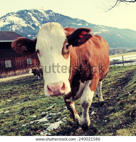 Curious cow looking at camera on Alps farm in spring(Austria). Selective focus, square toned image, instagram effect - stock photo