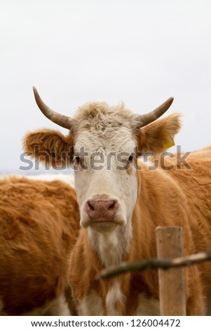 Curious Cow looks at camera - stock photo