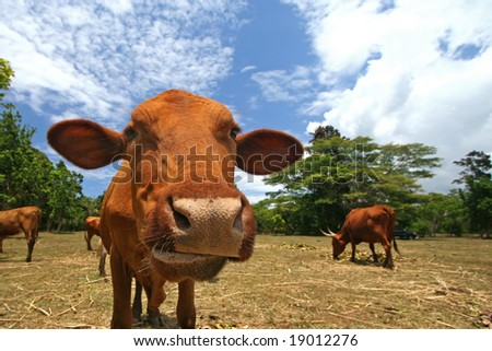 curious cow on a dairy farm - stock photo