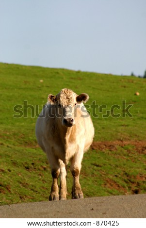 Curious cow stands obliviously in middle of the road. - stock photo