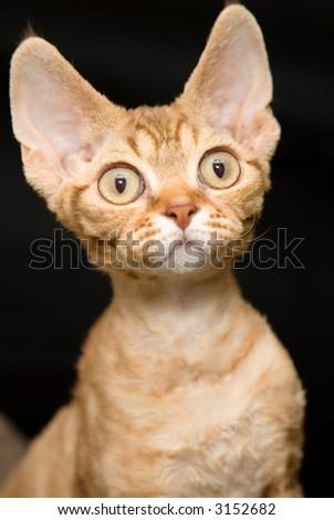 Curious Devon Rex - stock photo