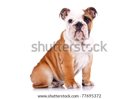 curious english bulldog puppy sitting on a white background - stock photo