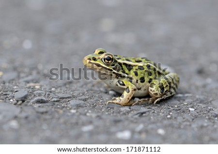 curious frog on the road in spring - stock photo