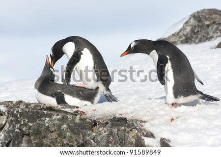 Curious Gentoo Penguin is watching a pair of love - stock photo