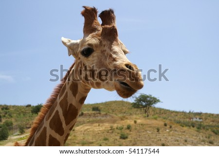 Curious giraffe - stock photo