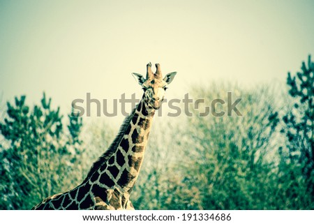 Curious giraffe in the nature - stock photo