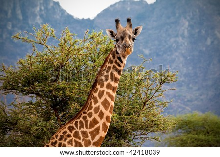 Curious giraffe portrait - stock photo
