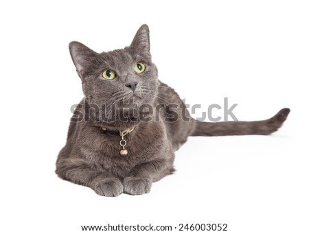 Curious Grey Domestic Shorthair Cat looking up.  Cat is laying with paws outstretched in front of body.  - stock photo