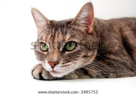 Curious Grey Kitten - stock photo