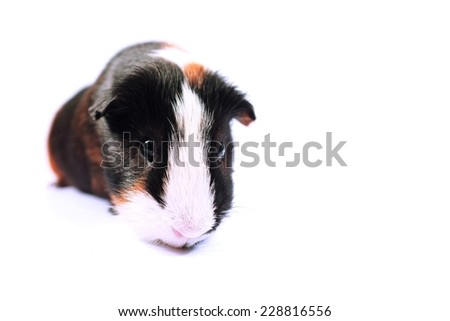 curious guinea pig isolated on white - stock photo