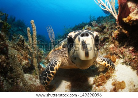 Curious hawksbill sea turtle looking into a fish eye lens , sitting on the coral reef - Akumal, Riviera Maya, Mexico - stock photo