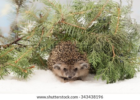 Curious hedgehog in the fir and juniper branches on the snow - stock photo