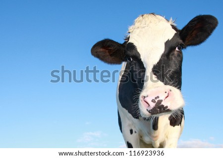 curious holstein cow against blue sky