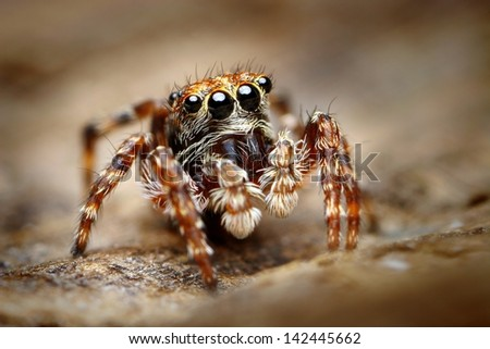 Curious jumping spider close up - stock photo