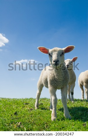 curious lambs looking at the camera in spring - stock photo