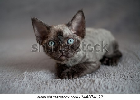 curious little devon rex kitten - stock photo