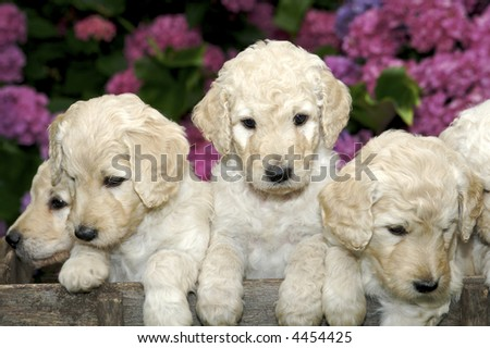 Curious Little Golden Labradoodle Puppies