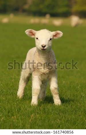 curious little lamb - stock photo