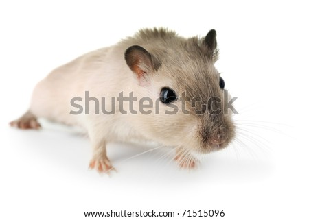Curious little mouse isolated on white - stock photo