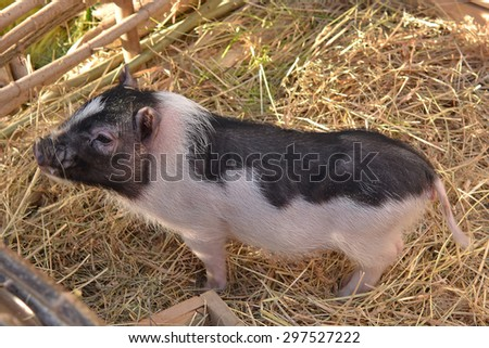Curious little piglet in the straw near the fence. Selective focus - stock photo