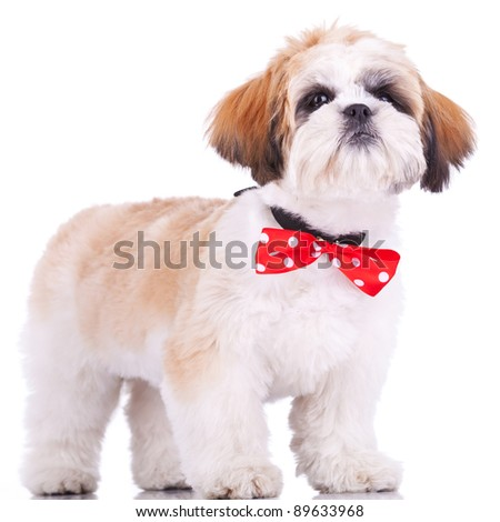 curious little shih tzu puppy, wearing a red neck bow, staning on white background - stock photo