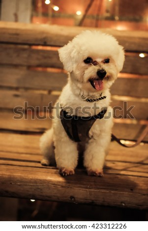 curious little shih tzu puppy, wearing shirt ,sitting on chair at night ,soft focus - stock photo