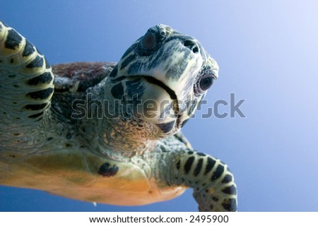 Curious looking turtle - stock photo