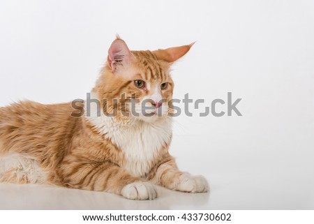 Curious Maine Coon Cat Sitting on the White Table with Reflection. White Background. Portrait.
