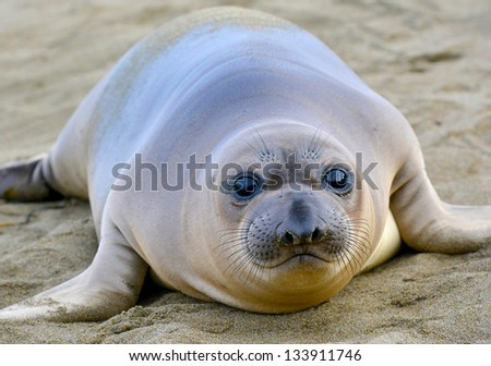 curious new born elephant seal pup / infant / baby looking at camera with wide eyes, big sur, california - stock photo