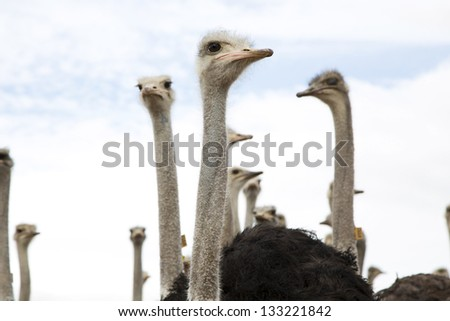 Curious ostriches looking around