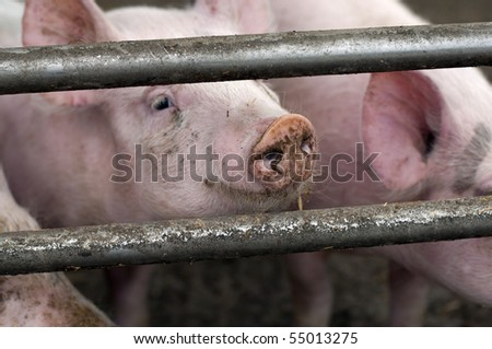 curious pigs on an eco farm waiting for food, focus on nose of both pigs - stock photo