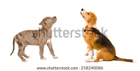 Curious puppy pit bull and beagle dog together isolated on white background - stock photo