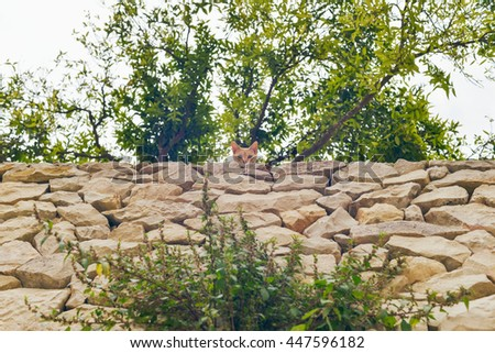Curious red cat looking over stone wall in garden. Mallorca. Spain. - stock photo
