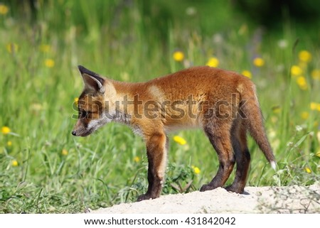 curious red fox cub near the burrow ( Vulpes vulpes )
