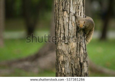 Curious red squirrel siting on tree  (green background)