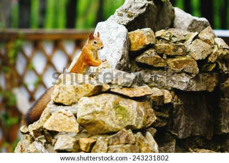 Curious red squirrel with big furry tail on stones in a park - stock photo