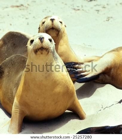 Curious sea lion on the beach, Australia - stock photo