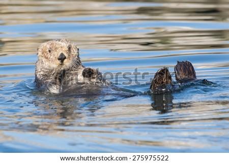 Curious Sea Otter - stock photo