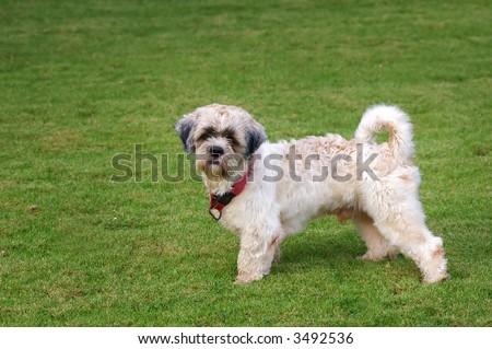 curious shitzu dog - stock photo