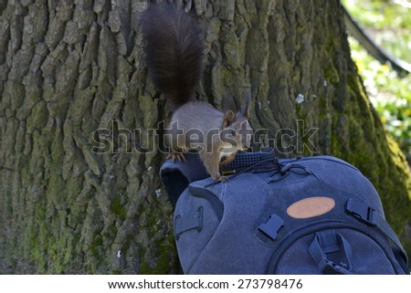 Curious squirrel searching for food on a backpack - stock photo