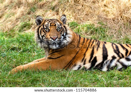 Curious Sumatran Tiger Lying in the Grass Panthera Tigris Sumatrae