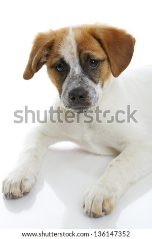 Curious terrier dog puppy on white background.