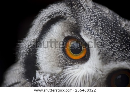 Curious White-Faced Scops Owl - stock photo