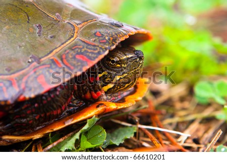 Curious Wild Painted Turtle Peaks From Shell.  Profile Shot Of Turtle. - stock photo